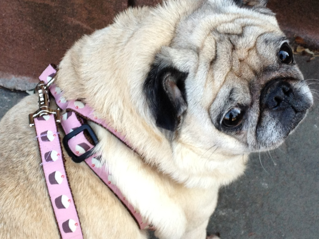 Her cupcake leash- Izzy