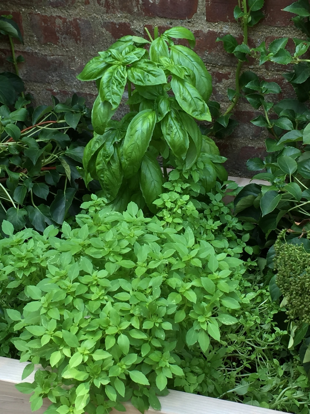 two types of basil regular sweet and smal spicy