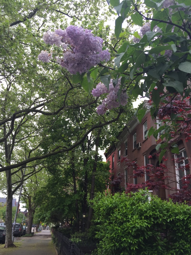 My neighbors lilacs