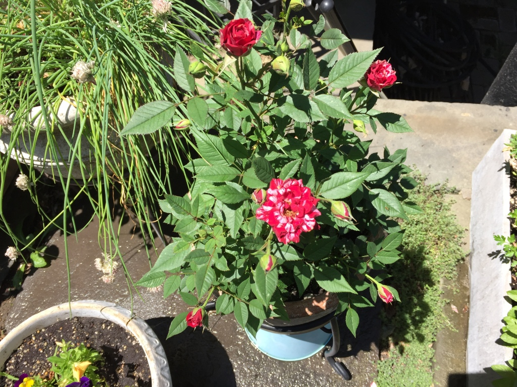 Grocery store rose bush